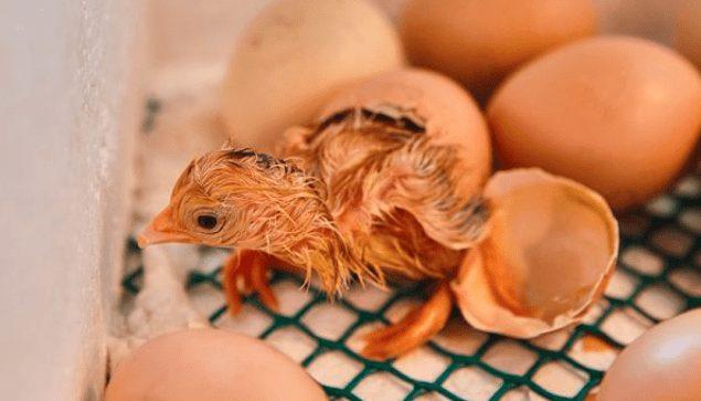 Biasanya untuk telur ayam biasa, pada usia 21 hari sudah bisa menetas | Image 3
