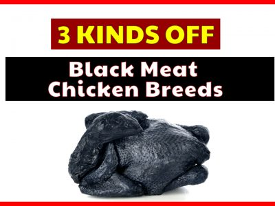 Let's See 3 Kind Of Black Meat Chicken Breeds You Can Eat!