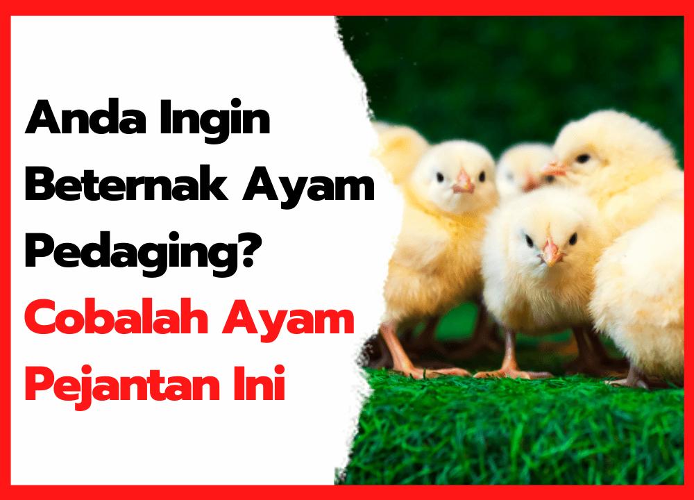 Anda Ingin Beternak Ayam Pedaging Cobalah Ayam Pejantan Ini   thumbnail