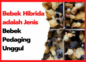 Bebek Hibrida adalah Jenis Bebek Pedaging Unggul   cover