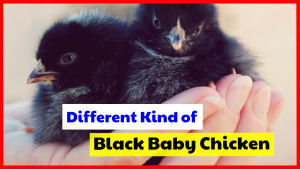 Different Kind of Black Baby Chicken