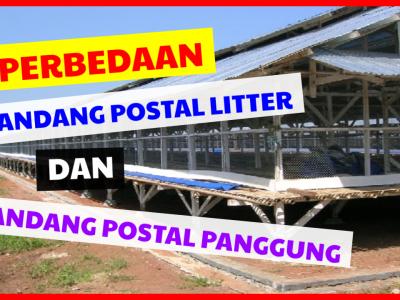 Kandang Postal Litter dan Postal Panggung ternyata memiliki perbedaan yang dangat berpengaruh pada pertumbuhan Ayam Kampung Super