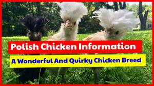 Polish chicken information, wonderful chicken breed for your backyard.