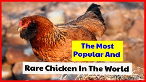 The Most Popular And Rare Chicken In The World