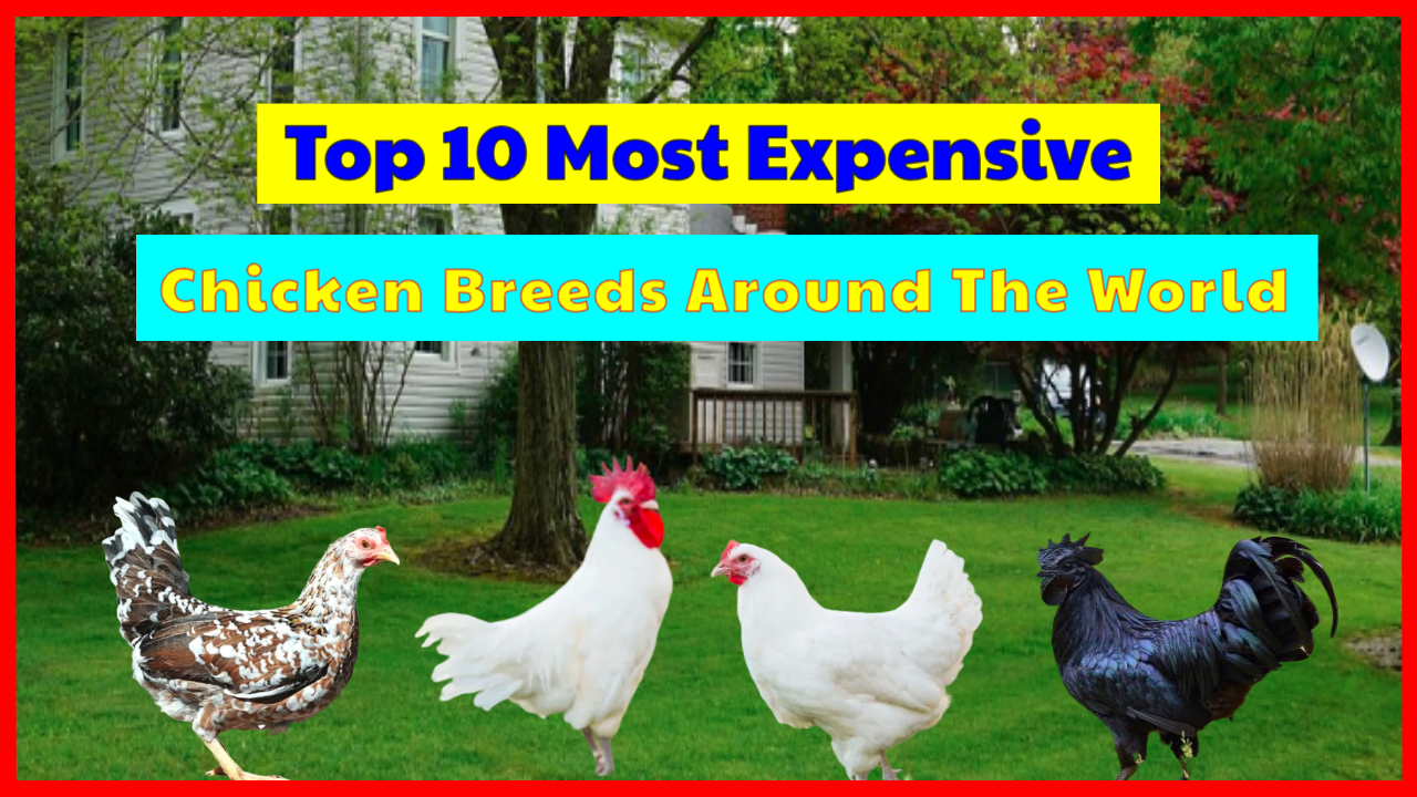 Top 8 Most Expensive Chicken Breeds, Guess What's In No. 8