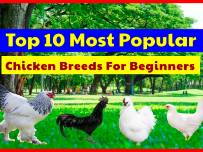 Top 10 Most Popular Chicken Breeds For Beginners To Start Flock Of Backyard Chickens.