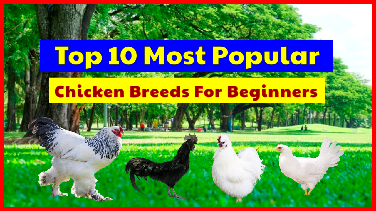 Top 8 Most Popular Chicken Breeds For Beginners