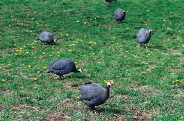 Ayam Mutiara dibudidayan bisa diambil dagingnya dan bisa dijadikan sebagai hewan hias | Image 2