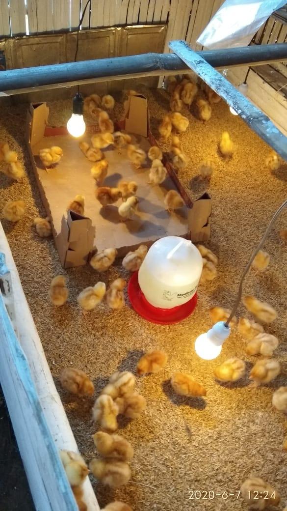 DOC Ayam Petelur yang masih berusia anakan harus mendapatkan pemeliharaan yang baik agar pertumbuhan dapat berjalan secara optimal | DOC Ayam Petelur