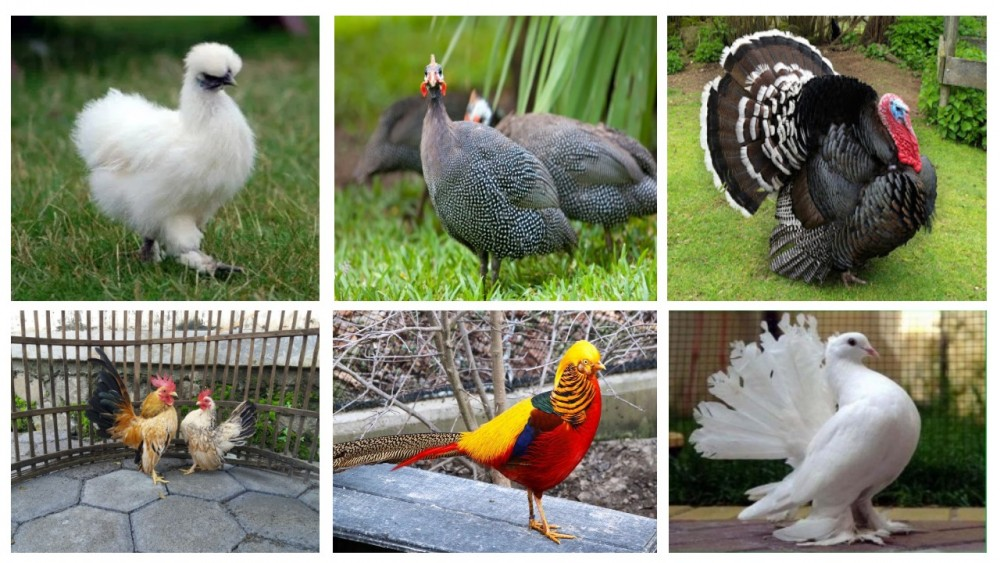Banyak jenis ayam hias yang bisa di pelihara dan di kembangbiakan