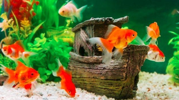Ikan hias biasa di pelihara dan di letakkan di akuarium yang sudah di lengkapi hiasan-hiasan cantik
