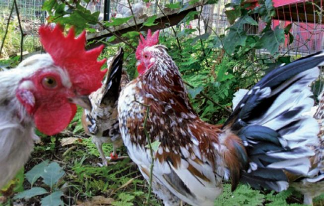 Pyncheon chicken is native to Northeastern America, it is bantam chicken breed and they are strong flyers.