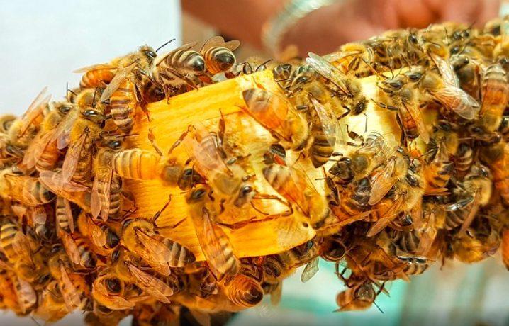 Selain madunya yang memiliki harga tinggi, lebah madu juga dapat di jadikan terapi kesehatan