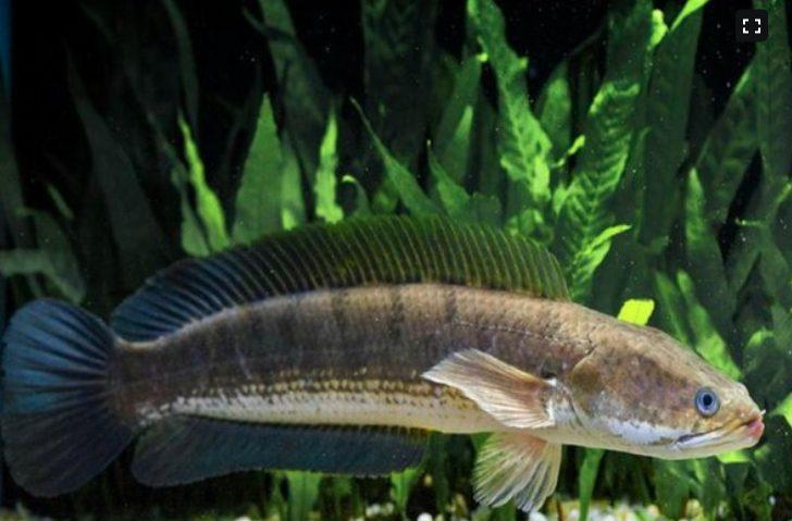Usaha ternak ikan gabus masih terbuka lebar