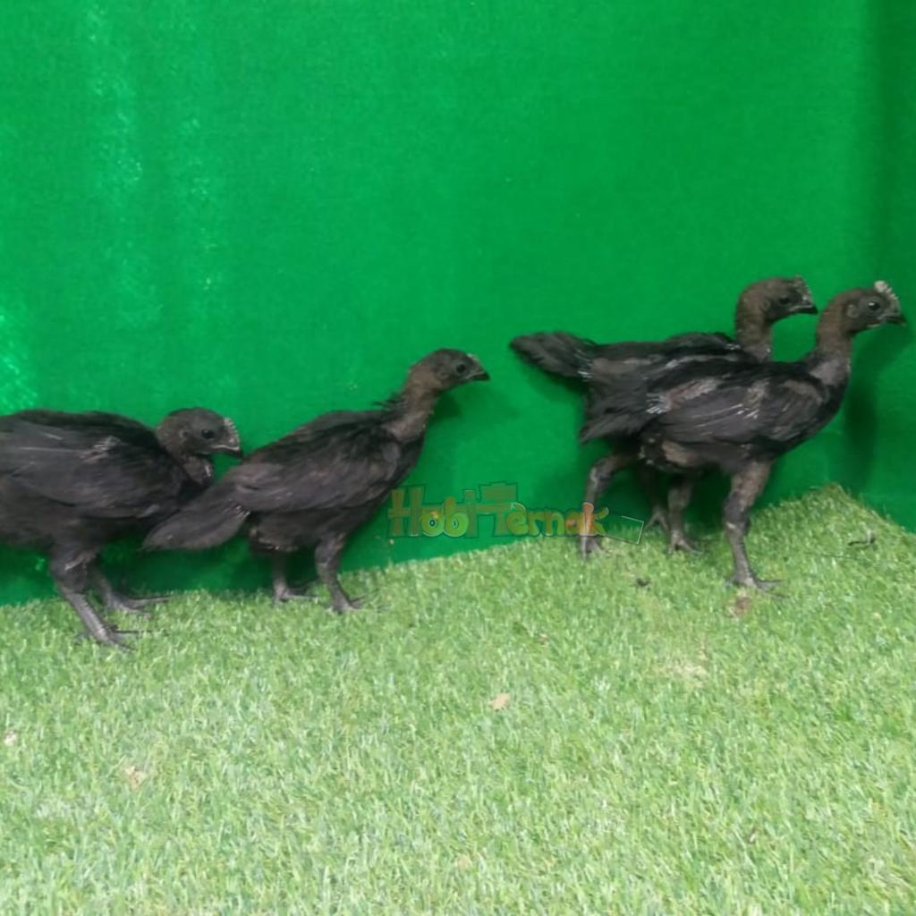 Ayam cemani usia 2 bulan