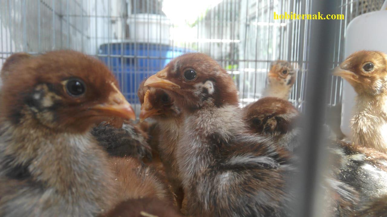 Ayam Arab menjadi salah satu jenis ayam yang memiliki kemampuan menghasilkan telur dengan jumlah yang cukup tinggi | image 1