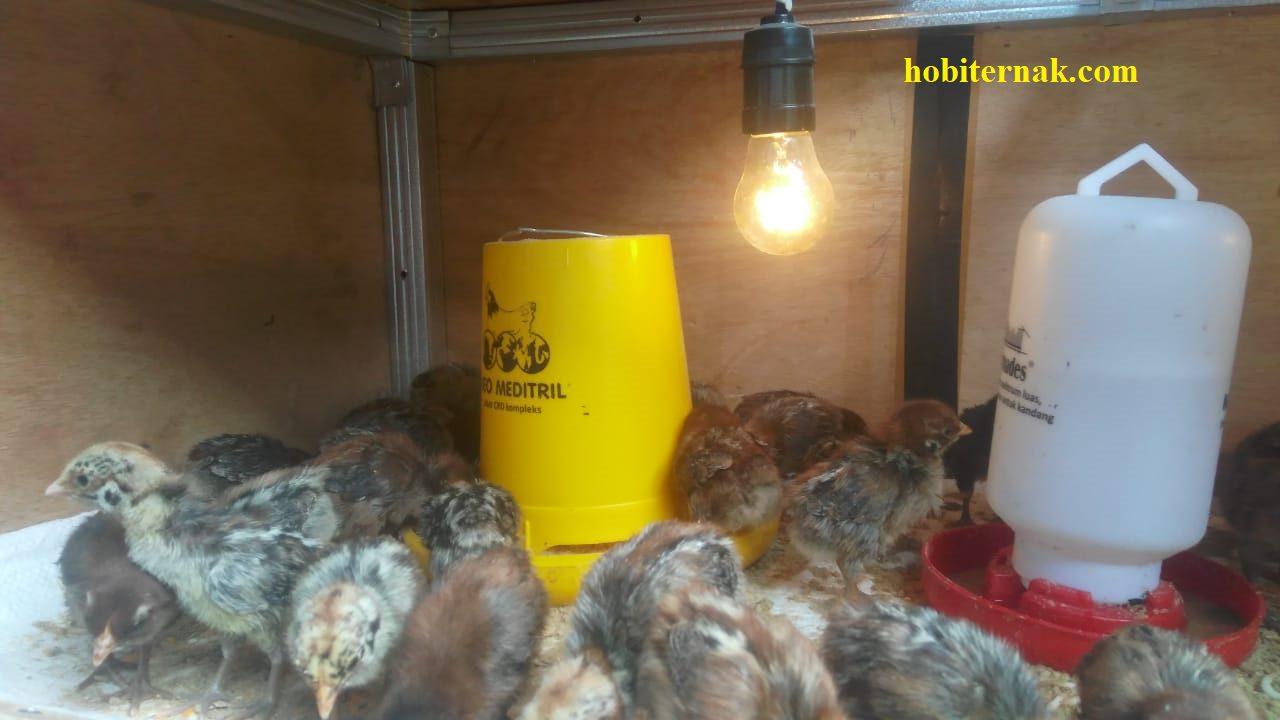 Salah satu bentuk kandang DOC  Ayam Arab yang telah dilengkapi dengan lampu penghangat, wadah pakan dan wadah minum | image 5
