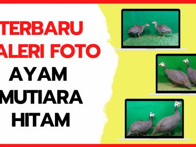 Galeri Foto Ayam Mutiara Hitam