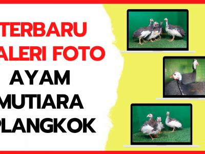 Galeri Foto Ayam Mutiara Plangkok Terbaru
