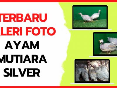 Galeri Foto Ayam Mutiara Silver