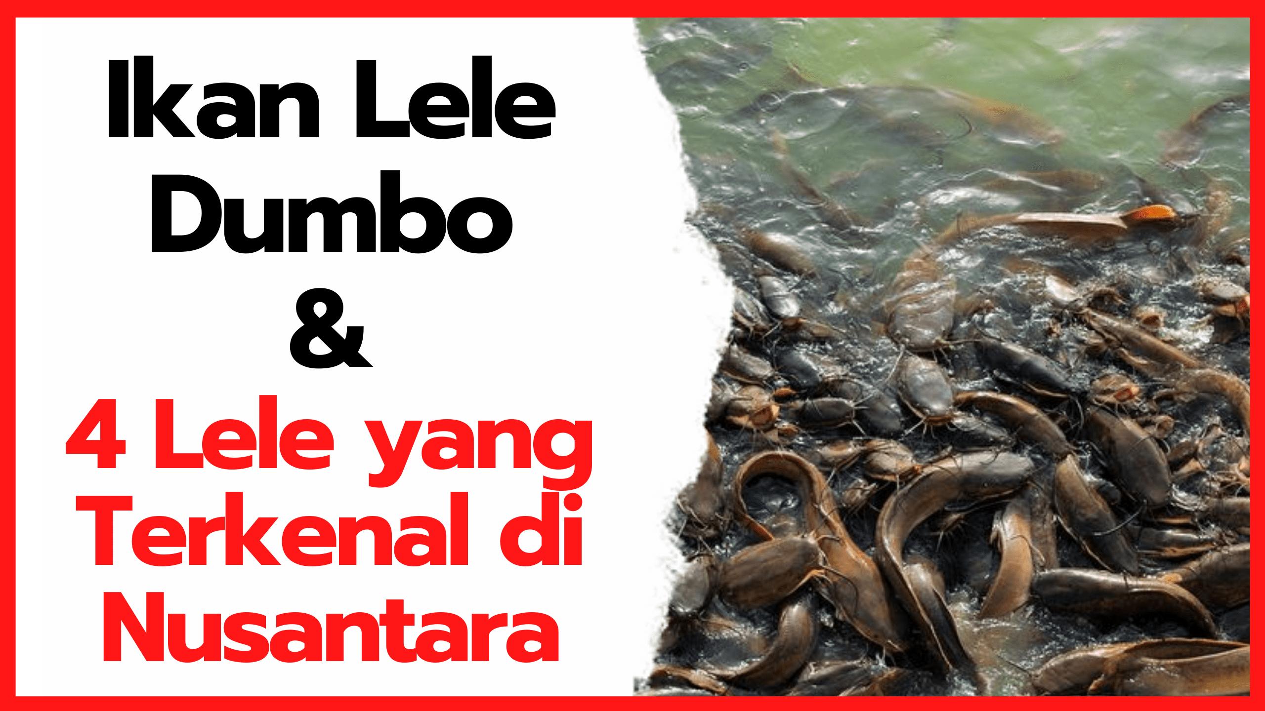 Ikan Lele Dumbo dan 4 Lele yang Terkenal di Nusantara