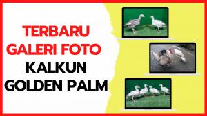 Terbaru Galeri Foto Ayam Kalkun Golden Palm