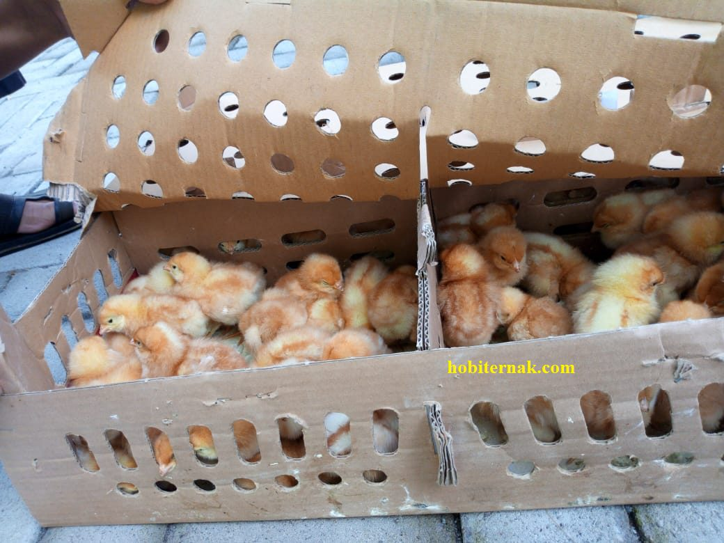 Usaha ternak Ayam Petelur si penghasil Telur Ayam berkualitas saat ini masih memiliki peluang usaha yang menguntungkan | image 1