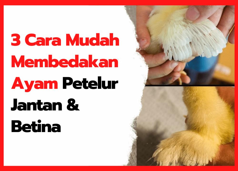 3 Cara Mudah Membedakan Ayam Petelur Jantan & Betina bagi Peternak Pemula