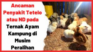 Ancaman Penyakit Tetelo atau ND pada Ternak Ayam Kampung di Musim Peralihan   Cover
