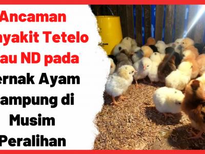 Ancaman Penyakit Tetelo atau ND pada Ternak Ayam Kampung di Musim Peralihan | Cover