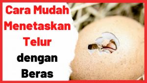 Cara Mudah Menetaskan Telur dengan Beras   Cover