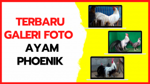 Galeri Foto Ayam Phoenik