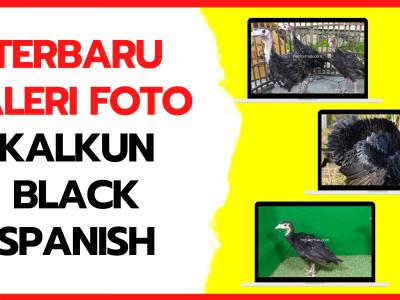 Galeri Foto Kalkun Black Spanish Terbaru