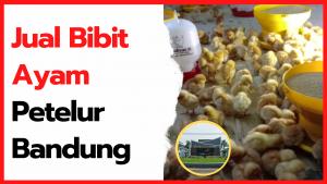 Jual Bibit Ayam Petelur Bandung dan Sekitarnya