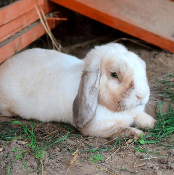 Kelinci sangat menyukai suasanan yang hening dan tenang, karena jika suasananya cukup bising akan membuat kelinci mudah stress | image 3