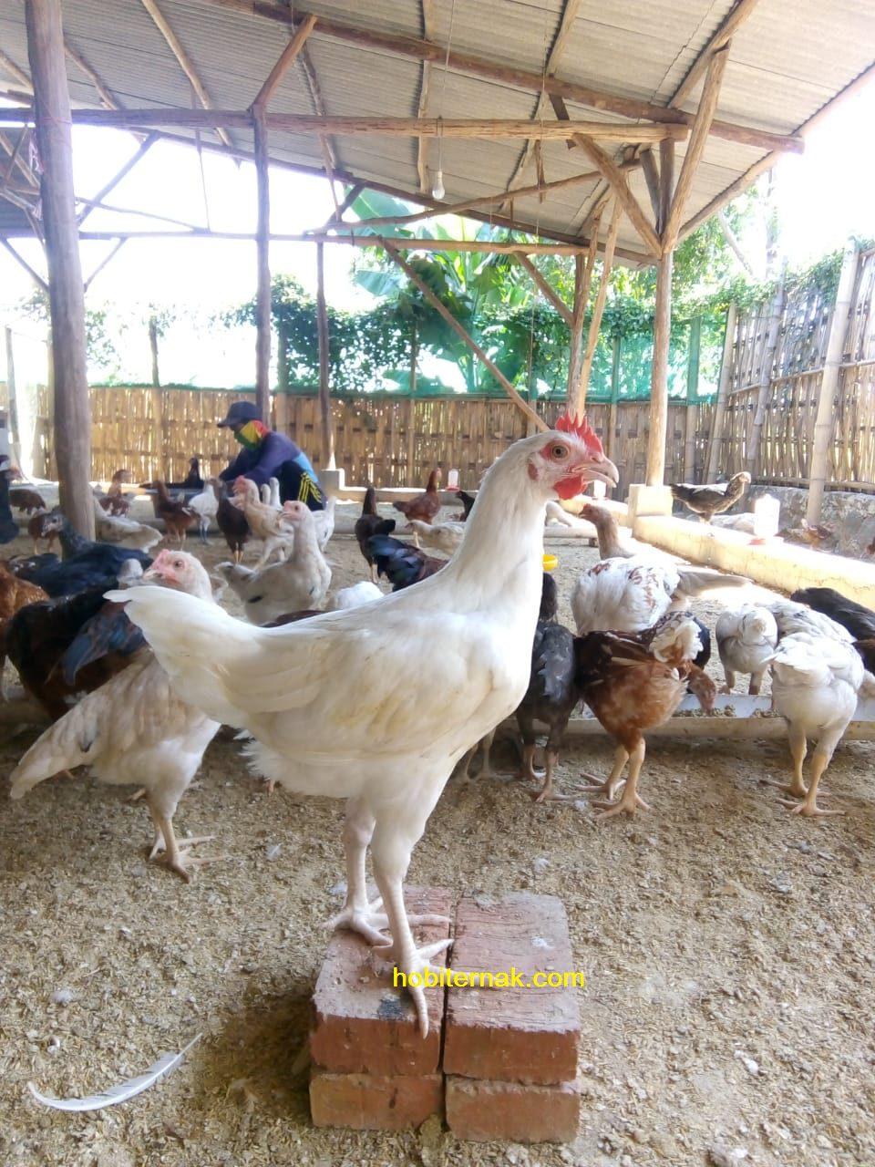 Gambar Ayam Joper  siap panen untuk dipasarkan dagingnya | image 3
