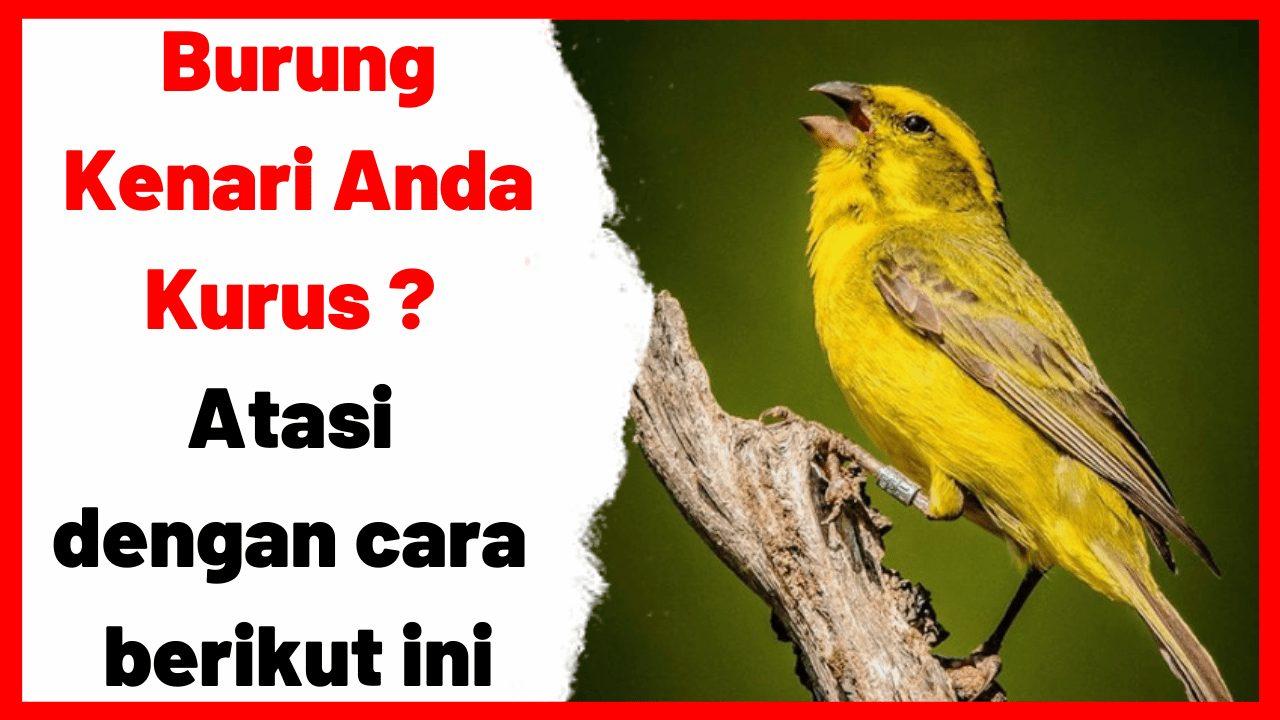 Burung Kenari Anda Kurus _ Atasi dengan cara berikut ini | gambar 1