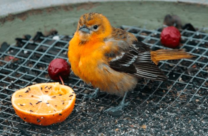 Agar Burung Kenari selau dalam keadaan sehat, maka peternak harus benar - benar menjaga kebersihan kandang. | gambar 3