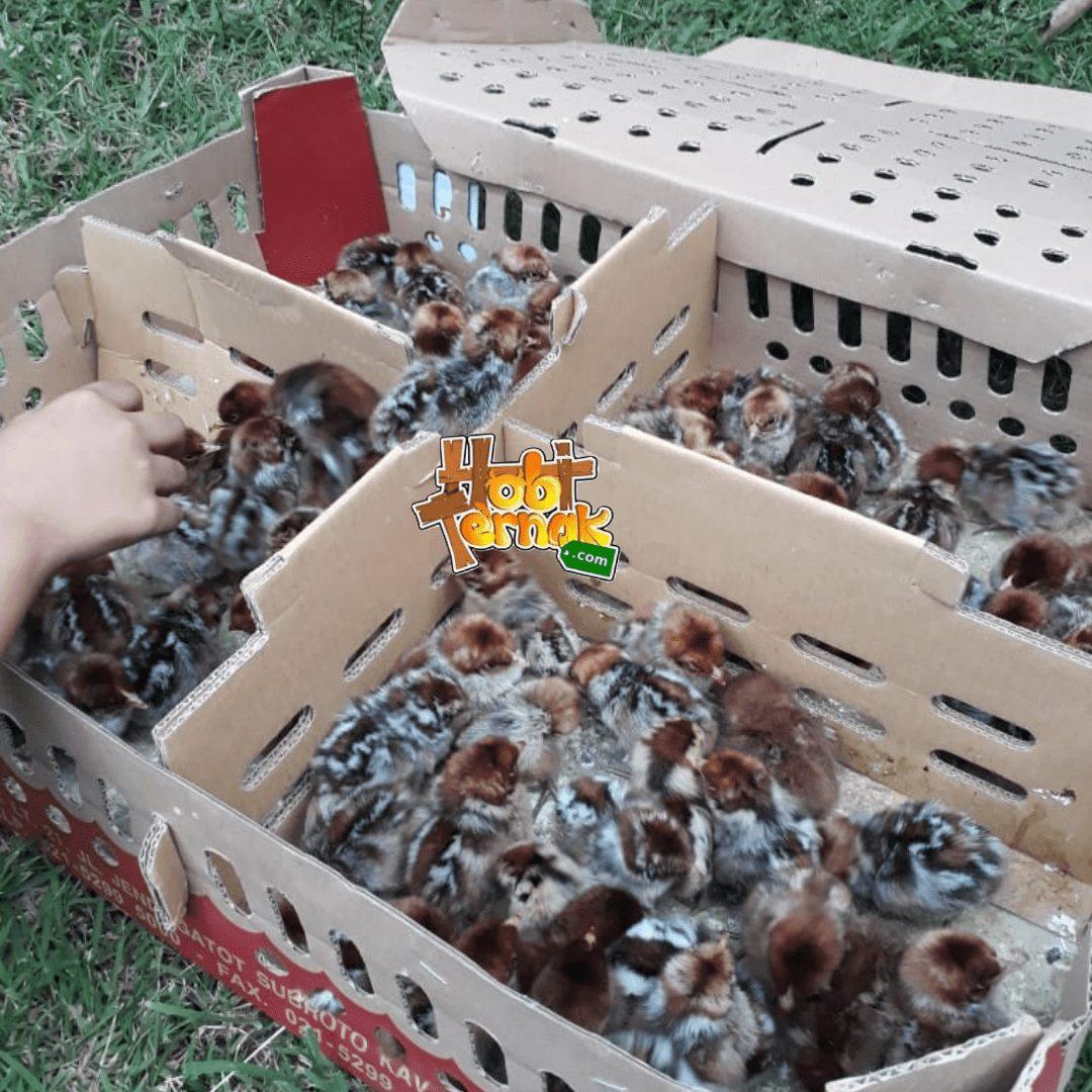 DOC Ayam Arab yang berkulitas terlihat pada warna bulunya yang kering, cerah dan bergerak lincah | image 2