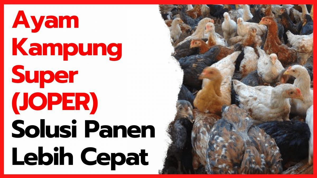 Ayam Kampung Super (JOPER) Solusi Panen Lebih Cepat | thumbnail