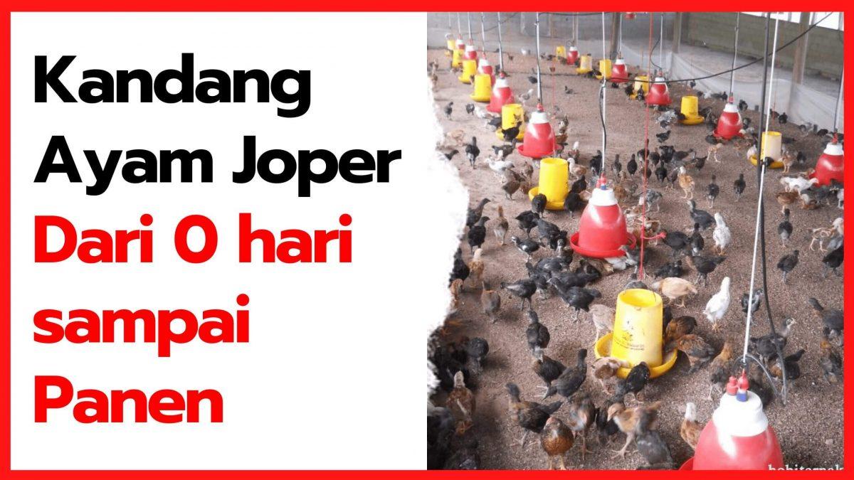Kandang Ayam Kampung Super (JOPER) Dari Nol Hari Sampai Panen | thumnail