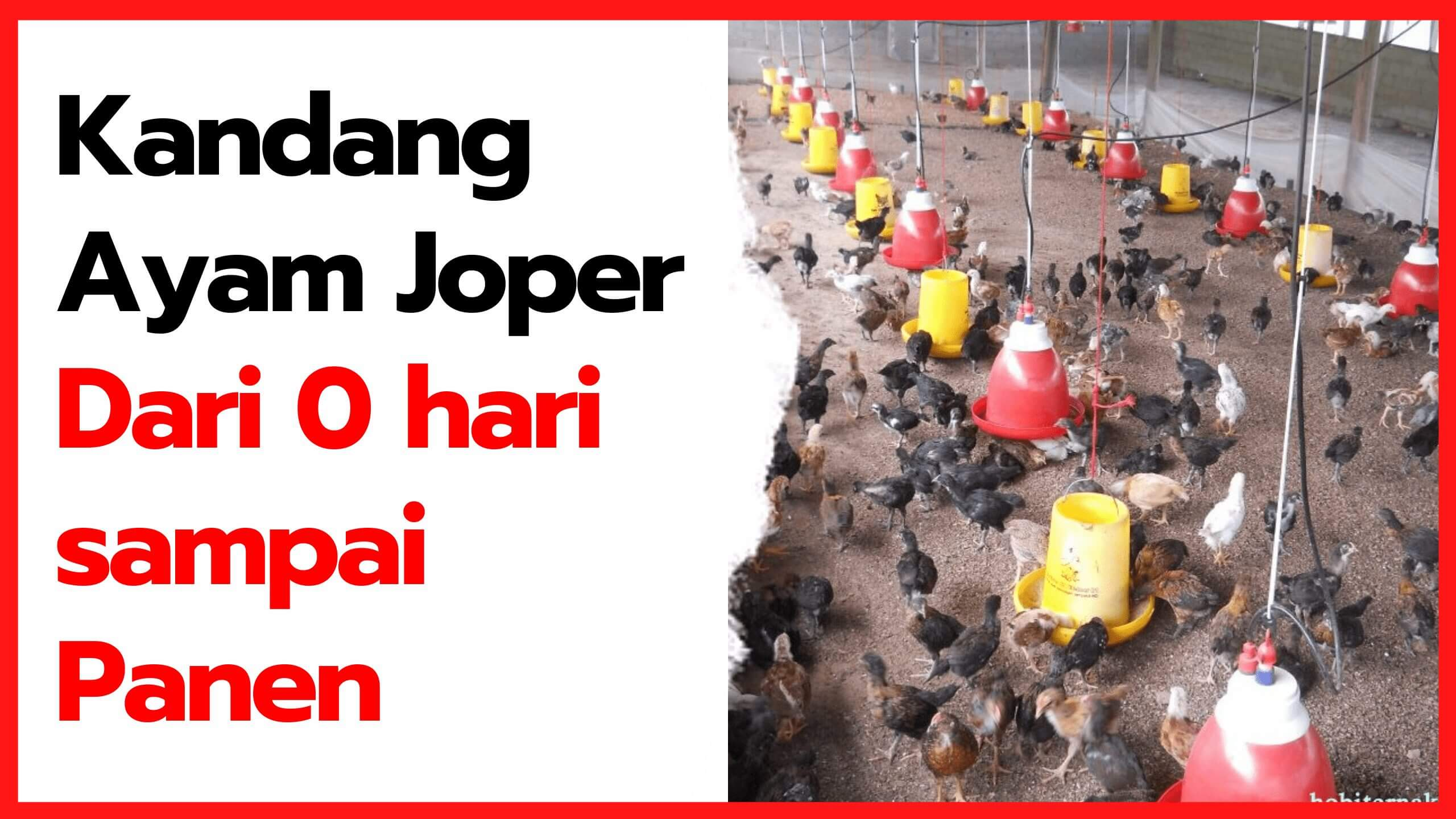 Kandang Ayam Kampung Super (JOPER) Dari Nol Hari Sampai Panen