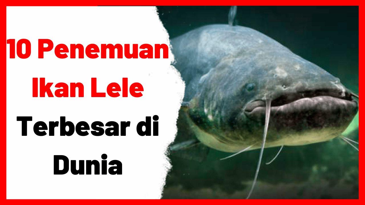 10 Penemuan Ikan Lele Terbesar di Dunia   image 1