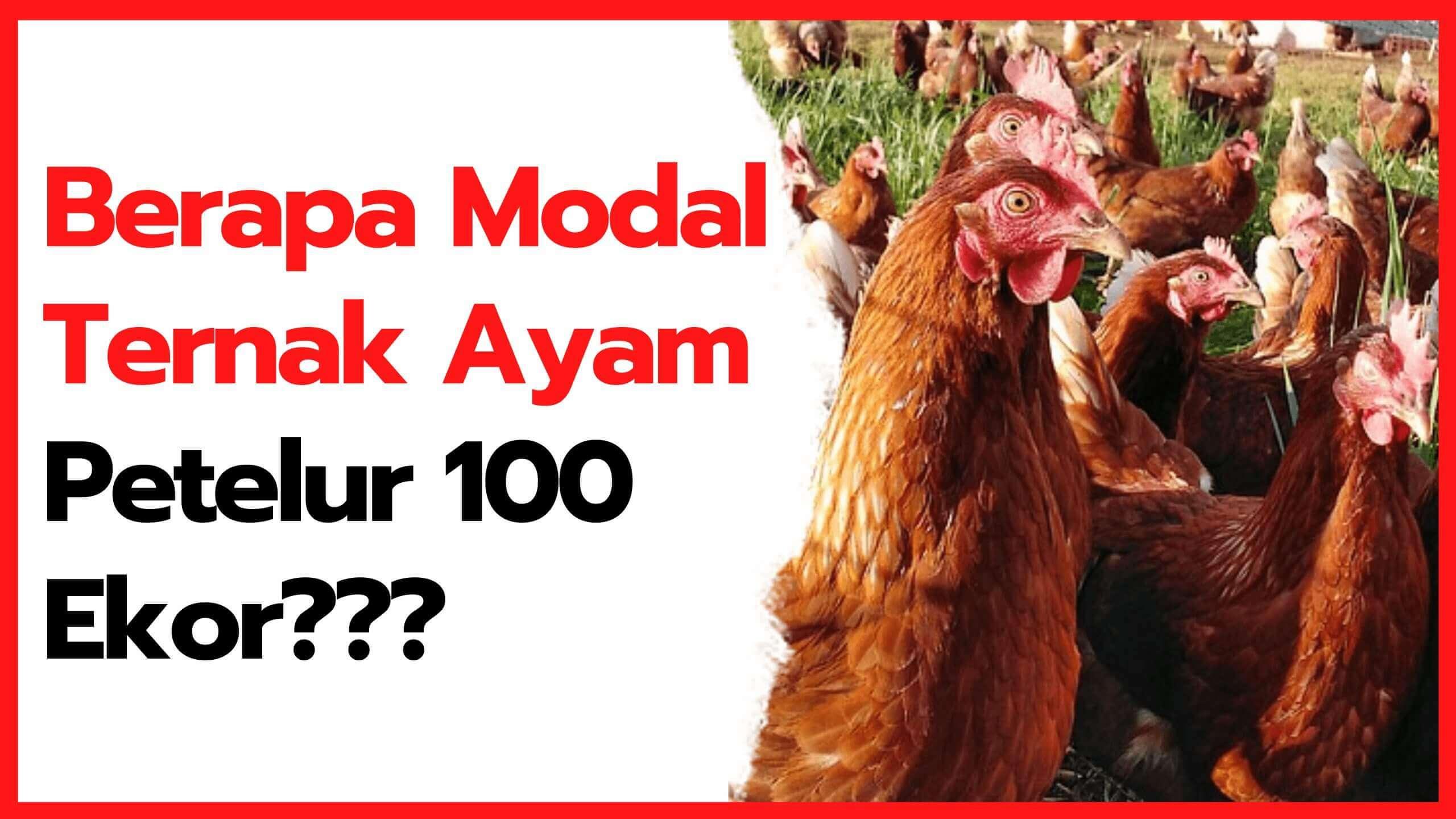 √ Cara Mudah Menentukan Modal Ternak Ayam Petelur 100 ekor