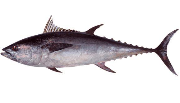 Ikan Tongkol Abu - abu | image 4