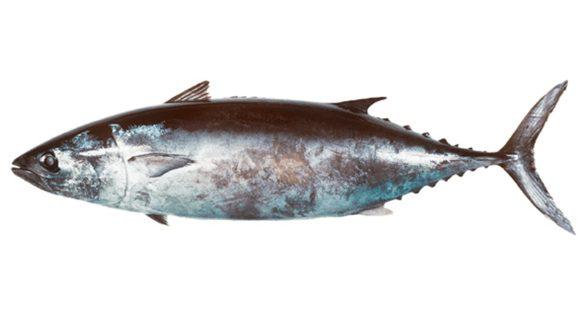 Ikan Tuna Ramping | image 3