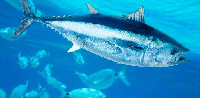 Ikan Tuna Sirip Biru Atlantik | image 4