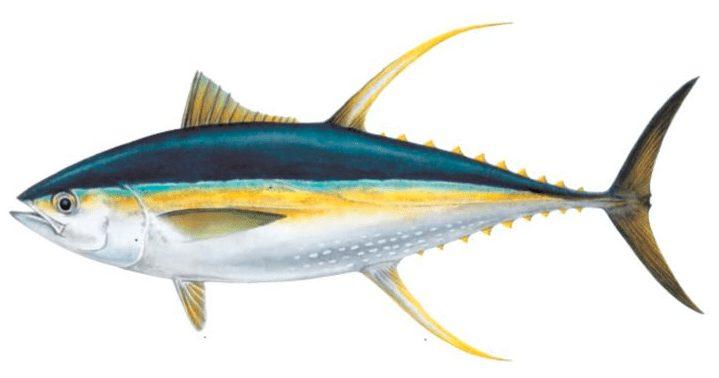 Ikan Tuna Sirip Kuning | image 5
