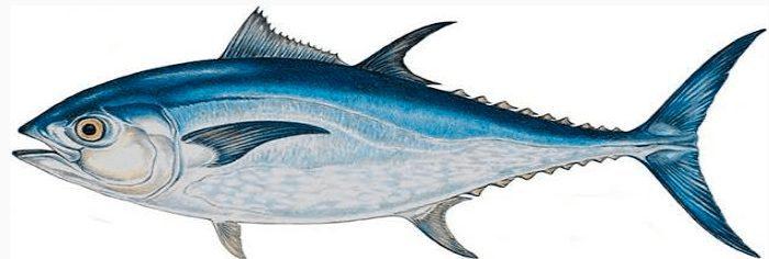 Tuna Sirip Biru Pasifik | image 9