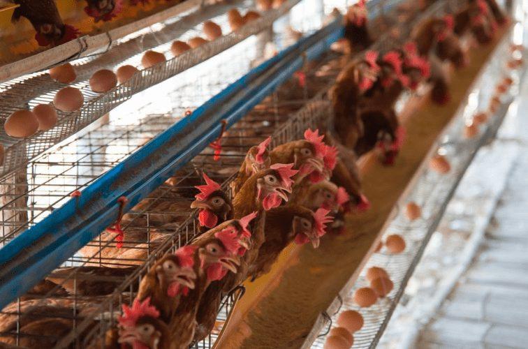 Agar menunjang keberhasilan ternak ayam petelur, peternak pun perlu memperhatikan kualitas ayam yang diternakan| image 1